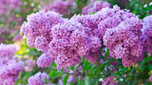 Сирень - Большие и пышные гроздья-цветы, густые и влажные кисти (56 фото)