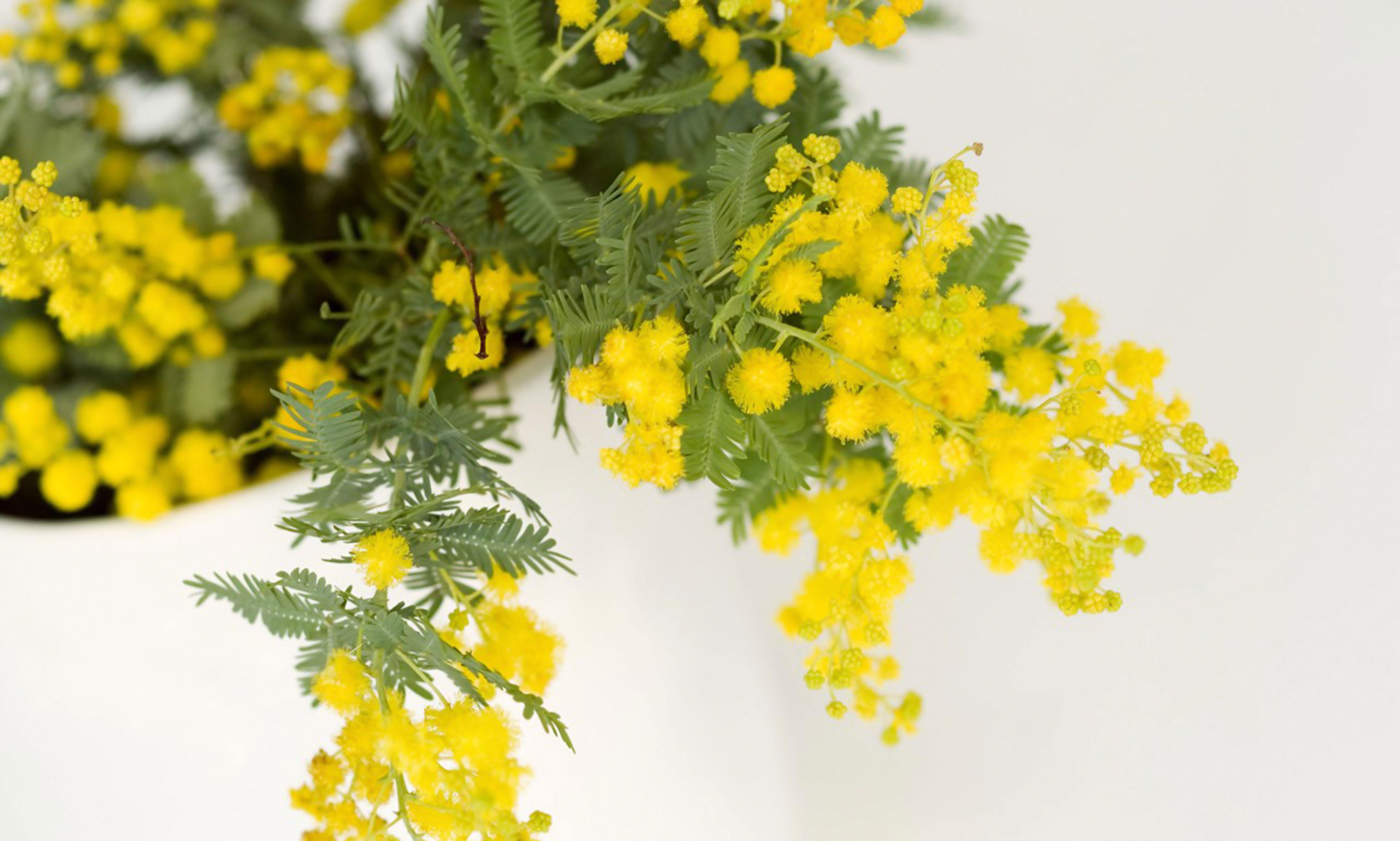 http://cp14.nevsepic.com.ua/183/18286/1384988615-mimoza-14.jpg