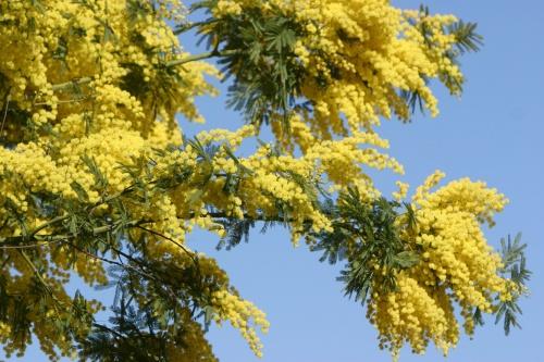 Весенний фото клипарт Мимоза – Весны пробужденья росток (76 фото)