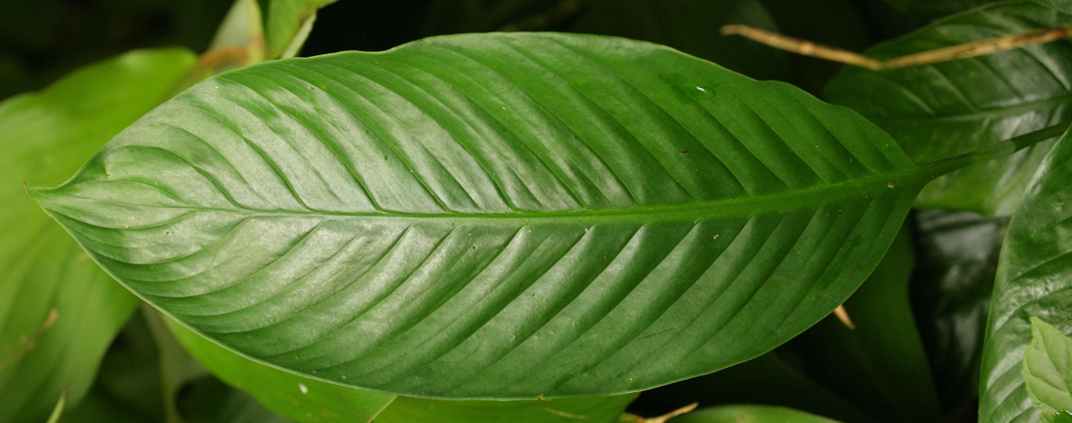 Комнатные цветы крупные листья фото