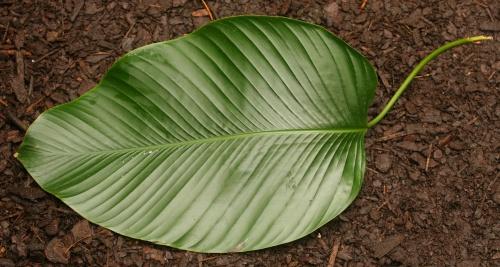Листья тропических растений (81 фото)
