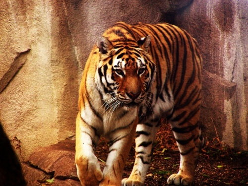 Фото. Тигры (77 фото)