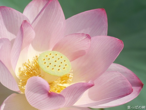 Лотосы и лилии / Lotuses and lilies HD Foto (72 обоев)