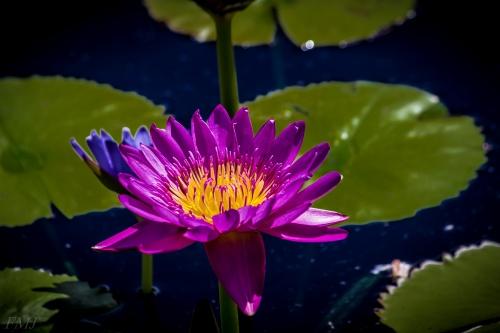 Лотосы и лилии / Lotuses and lilies HD Foto (72 обоев)