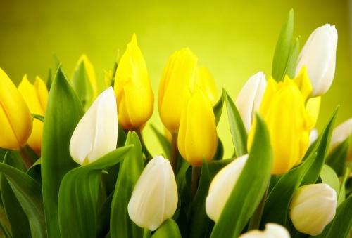 Модульная картина, триптих - Желтые тюльпаны (3 обоев)
