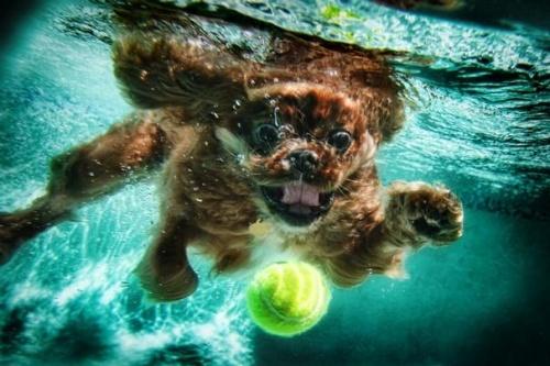 Фотограф Seth Casteel - Underwater Dogs (57 фото)