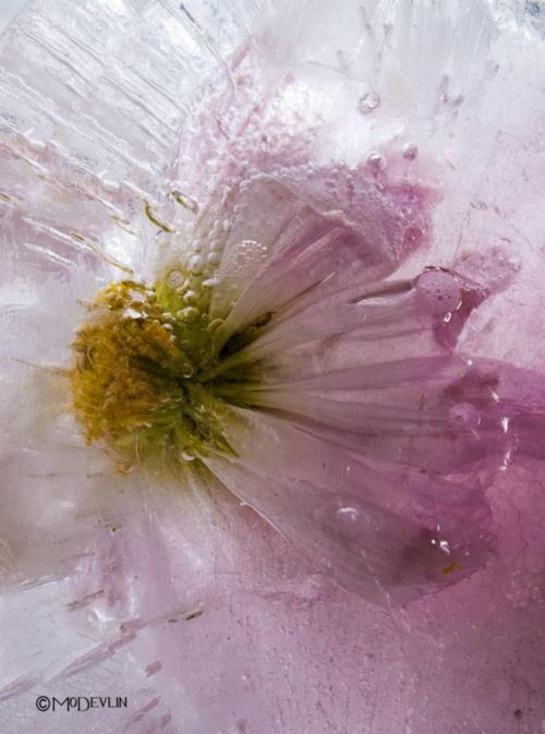 Замороженные цветы... Фотограф Mo Devlin (17 фото)